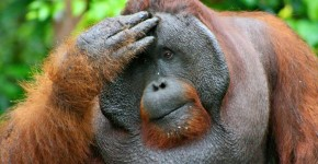 orangutan-flange-flanged-male-3